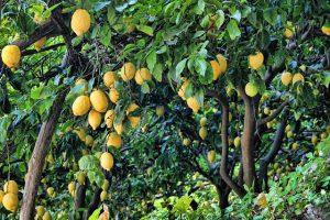 עצי לימון לפני גיזום