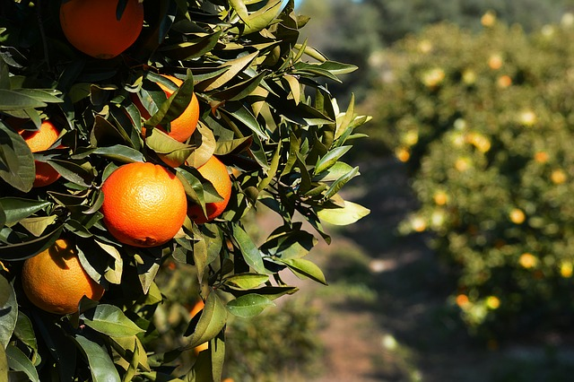 עץ תפוזים לפני גיזום