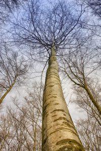 עץ גבוה