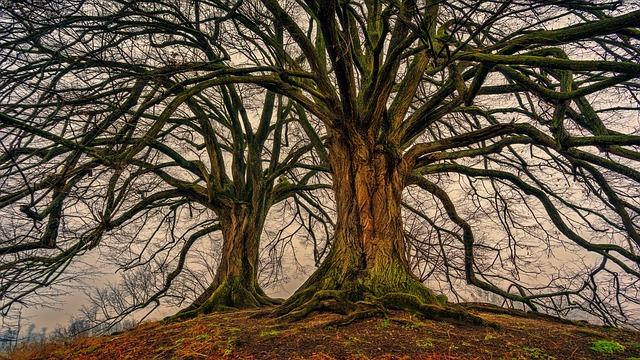 עץ בוגר לאחר העתקה