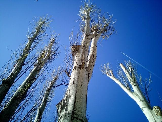עץ לאחר גיזום בהרצליה