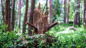 עץ לאחר כריתה